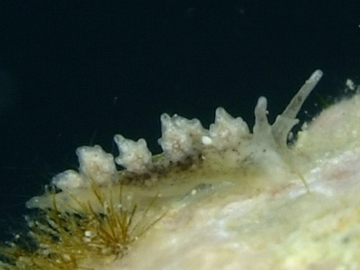 オキナワシロマツカサウミウシ