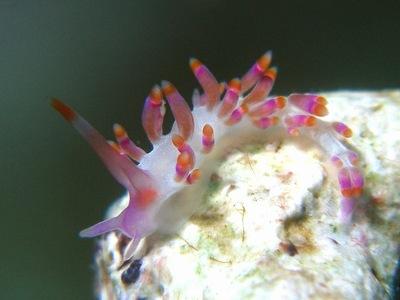 オショロミノウミウシ属の一種 7