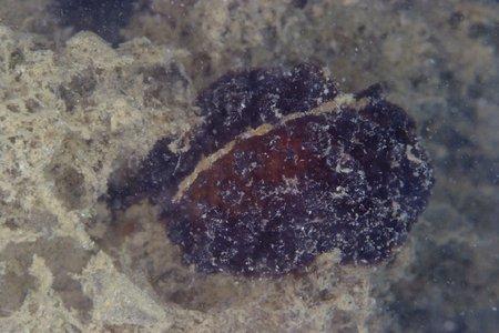 カイメンウミウシ