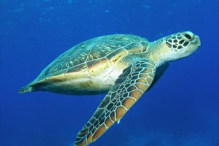 アオウミガメの画像 p1_8