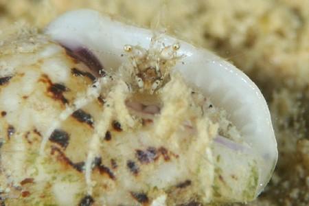 ミクロヤドカリ属の一種1