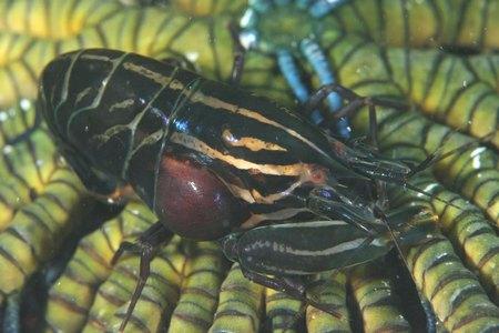 ツノテッポウエビ属の一種1