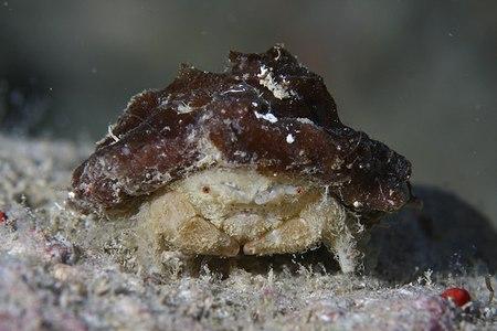 カイカムリ科の一種5