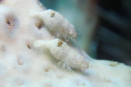 ナガレモエビ属の一種1