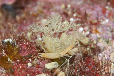 サンゴヒメエビ属の一種1