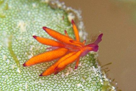 オレンジモウミウシ