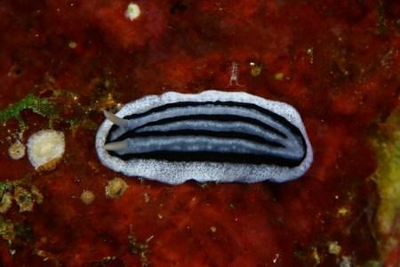 シロウネイボウミウシ