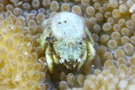 サンゴヤドリガニ科の一種1