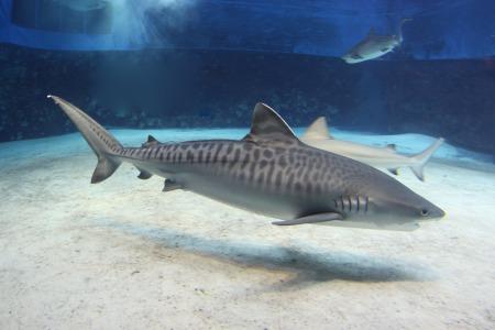 イタチザメの画像 p1_21