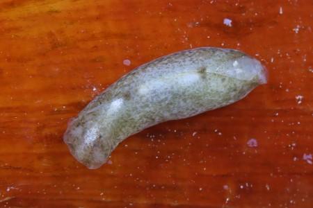 チョウチョウミドリガイ属の一種