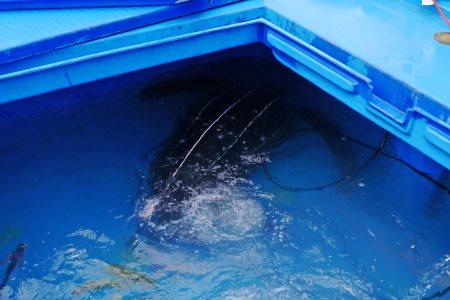 オサガメの画像 p1_24